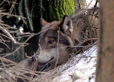 Mieszkańcy Białowieża obawiają się wilków.