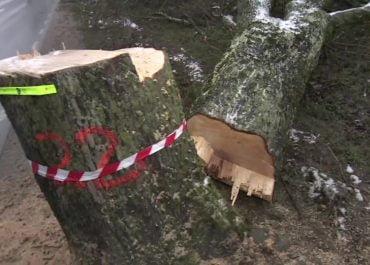 Naciął ponad 20 drzew rosnących przy drodze. Wójt gminy na Pomorzu wyznaczył nagrodę za pomoc w znalezieniu sprawcy