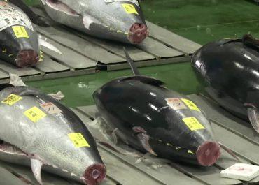 Duży spadek wartości tuńczyka błękitnopłetwego na aukcji w Tokio