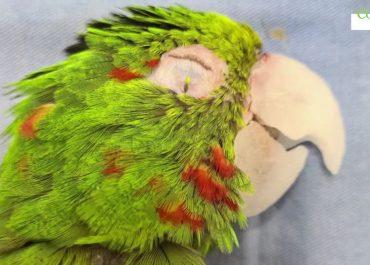 Ta papuga mogła nie przeżyć. Ludzie zrobili jej… sztuczny dziób