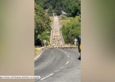 Trzy tysiące owiec przeszło przez most w Nowej Zelandii