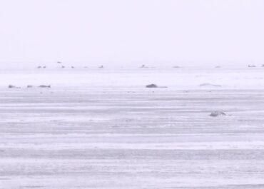 Setki martwych łabędzi na Pomorzu.