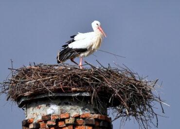 Ornitolodzy: wyrzucanie jajek z gniazda przez bociany jest naturalne.