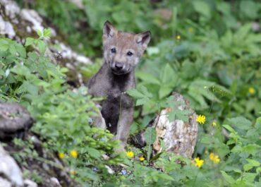 Beskidy: turyści zabrali szczenię wilka; przyrodnicy zwrócą je watasze.