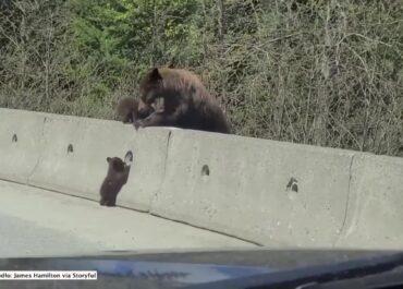 Niedźwiadki w niebezpieczeństwie.