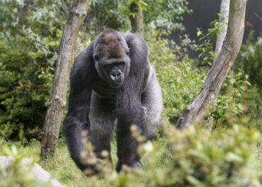 Goryle, szympansy i bonobo ucierpią w najbliższych dekadach