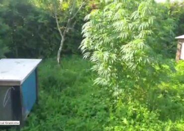 """Pszczelarz uprawiał konopie indyjskie, """"bo dobrze wpływały na kondycję jego pszczół"""""""