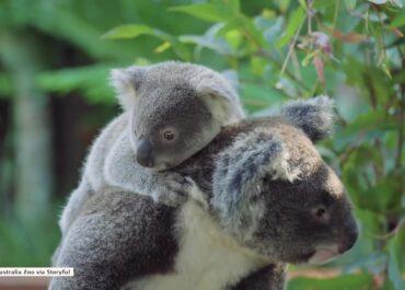Koala poznaje świat na plecach mamy.
