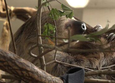 """Dzień leniwców we wrocławskim zoo. """"Są mistrzami oszczędzania energii"""""""