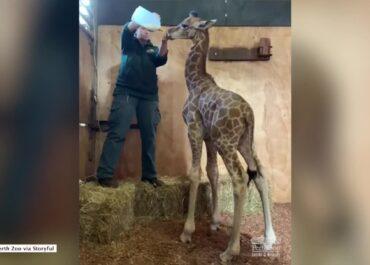 Pracownicy zoo opiekują się młodą żyrafą.